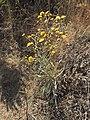 Wild flower Madeira 2.jpg