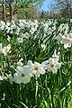 Willowwood Arboretum, Chester Township, NJ - daffodils.jpg