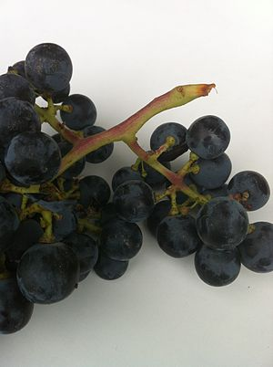 "Merlot - A main and attached ""wing cluster"" of Merlot grapes with its characteristic dark-blue color."