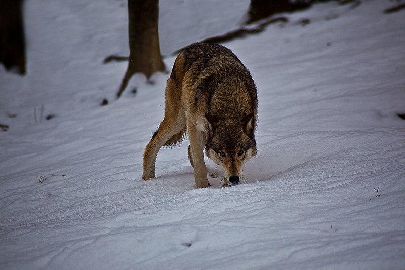 File:Wolf-winter-hunting-snow-trees - West Virginia - ForestWander.jpg