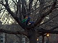 Woman in a tree in Tompkins Square Park.jpg