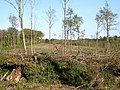 Woodland clearance - Higher Halstock Leigh - geograph.org.uk - 1284147.jpg