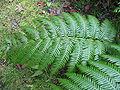 Woodwardia radicans (Leaf).jpg
