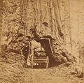 Wowona, 27ft, diameter, Mariposa Grove, by Watkins, Carleton E., 1829-1916 (cropped).jpg