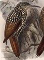 Xiphorhynchus lachrymosus 1902.jpg