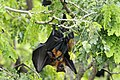 YT 0803 Lyle's flying fox (35119927364).jpg