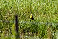 Yellow-headed blackbird (48114851896).jpg