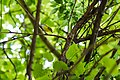 Yellow-throated vireo (47883270771).jpg