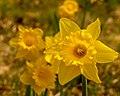 Yellow Daffodils (17763247459).jpg