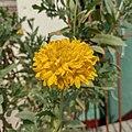 Yellow Gaillardia Flower.jpg
