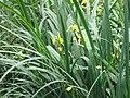 Yellow Iris, Woodland Pond, Ashridge - geograph.org.uk - 1377881.jpg