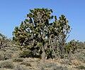 Yucca brevifolia 9.jpg