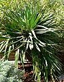 Yucca recurvifolia form.jpg