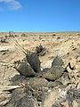 Yucca whipplei - Gorman, California.jpg