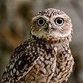 Zürich Zoo Burrowing owl (16360391391).jpg