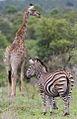 Zebra and giraffe at Kruger National Park (13945431695).jpg