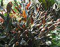 Zingiber malaysianum - black ginger - var-midnight - from-DC1.jpg