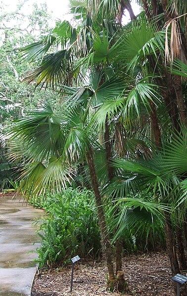 Zombia Antillarum palmera