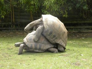 File:Zoo Beauval - 27-06-2014 - Tortues géantes.webm