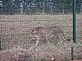 Zoo des 3 vallées - Guépard - 2015-01-02 - i3418.jpg