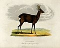 Zoological Society of London; a roebuck. Coloured etching by Wellcome V0023143.jpg