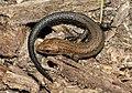 Zootoca-vivipara-01-fws.jpg