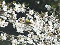 Zosterops japonicus-メジロ Japanese White-eye and Sakura DSCF5464.JPG