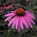 'Prairie Splendor' echinacea IMG 7756.jpg