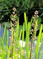 'Scrophularia auriculata' ~ Water Figwort or Water Betony at Shipley, West Sussex, England.JPG