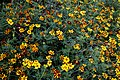 'Tagetes patula' French marigold Tall Scotch Prize Capel Manor Gardens Enfield London England 1.jpg