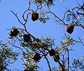 (1)Bats Centennial Park 026.jpg