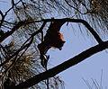 (1)Bats Centennial Park 033a.jpg