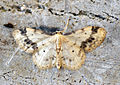 (1711) Treble Brown Spot (Idaea trigeminata) (7412646340).jpg
