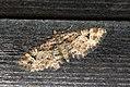 (1862) Double-striped Pug (Gymnoscelis rufifasciata) (3443744103).jpg