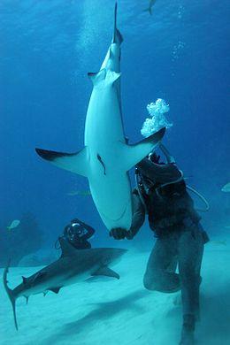 צולל מכניס כריש שחור-סנפירים למצב של  אי-תזוזה קטטונית  על ידי מישוש חוטם הכריש.].