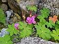 Λουλούδι Ολύμπου.jpg