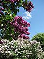 Ботанічний сад ім. М.Гришка IMG 7156.jpg