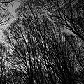 Густі ліси Трахтемирова.jpg
