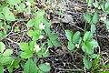 Земляника лесная (Fragaria vesca) f010.jpg