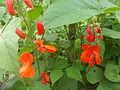 Квасоля у цвіту.JPG
