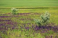 Квітне степ на території заповідника.jpg