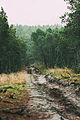 Леса Куршской косы.jpg
