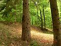 Смерековий ліс.jpg