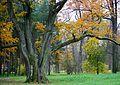 Старинный дуб Царского Села.jpg