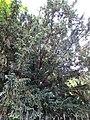 Тис ягідний (ботанічна пам'ятка природи), м. Одеса, Обсерваторний пров., 3. 2018 рік. 02.jpg