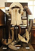 Части скелета мамонта.Teile des Mammutskeletts 2H1A0295WI.jpg