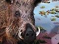 حیوانات تاکسی درمی شده - موزه تاریخ طبیعی شهر قم 13.jpg