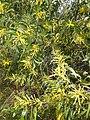 கத்திக் கருவேல் 3(Acacia auriculiformis).jpg