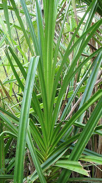 Sararanga - Leaves of Sararanga sinuosa