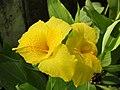 พุทธรักษา Canna indica L. วงศ์ Cannaceae (16).jpg